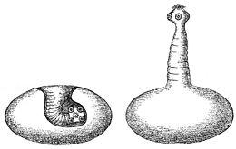 mennyi egy galandféreg