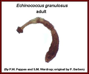 a parazitákkal rendelkező eozinofilek száma gyógyszer az emberi belső paraziták ellen