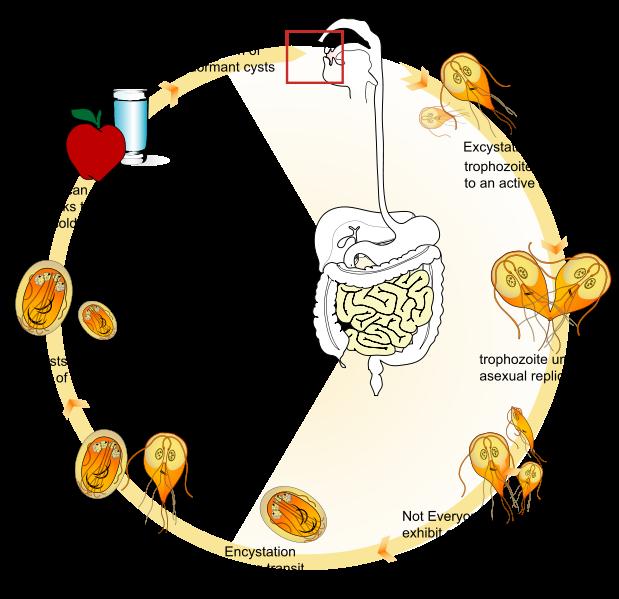 a giardiasis terjedésének módjai