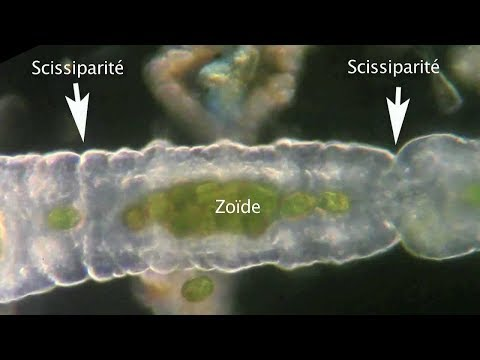 a helminták és a pinwormok petéi azonosak paraziták vérszegénységben