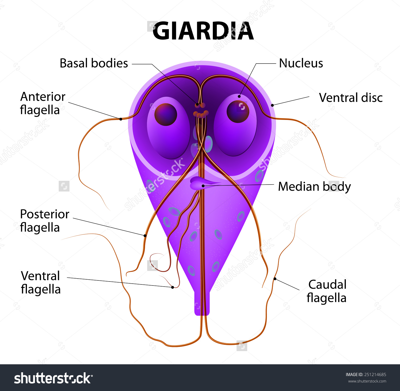 Lamblia parazita orvoslás
