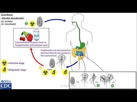 giardiasis és pinwormok