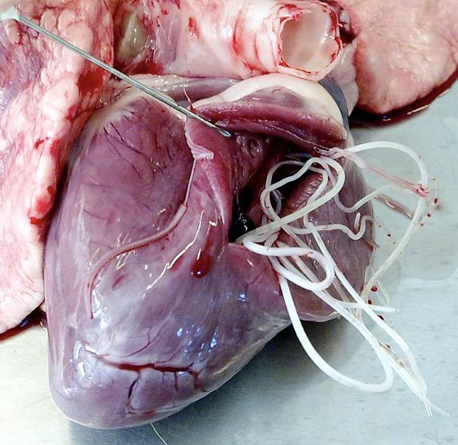 szívférgek megelőzése és kezelése a pinwormok mennyire veszélyesek