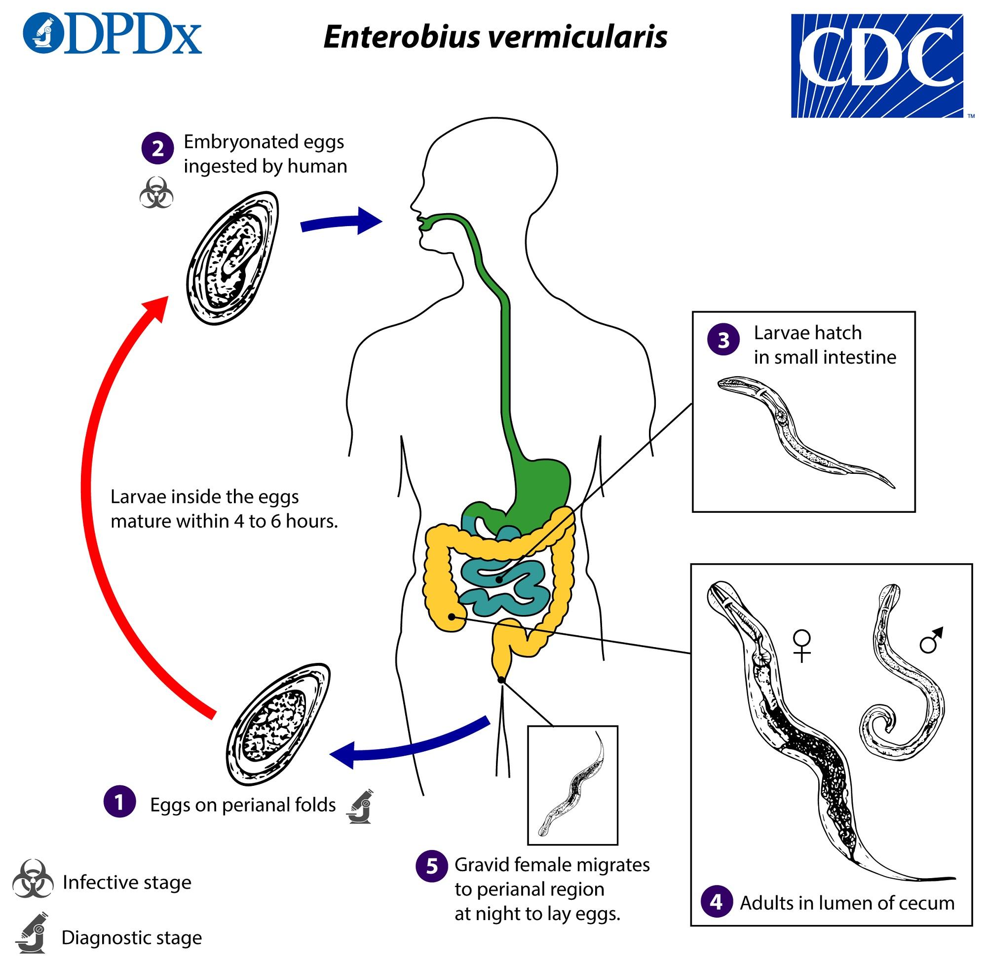 cecum paraziták milyen gyógynövények kezelik a parazitákat