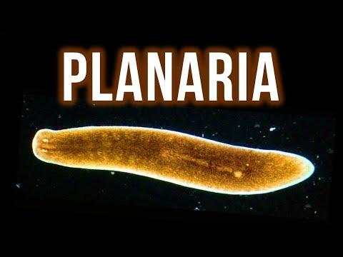 Blastocystis hominis: Békés parazita vagy kórokozó?, Ostorféreg tojás morfológiája