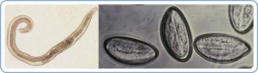 a pinworm tojások enterobiasis parazita békák o