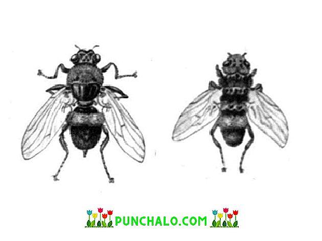 Emberi gadfly parazita. Által okozott károk férfi