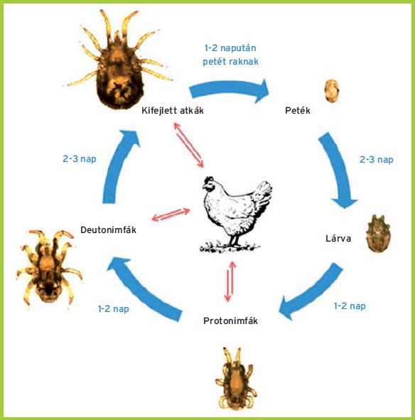 a tó parazitákkal történő ammóniakezelése e parazita lokalizációja