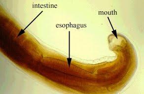parazitákból származó kyst paraziták emberi peték