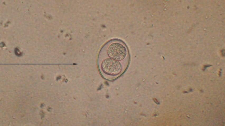 coccidia parazita