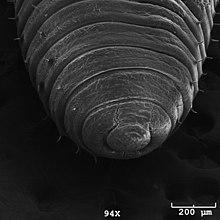 pinworms a stramonium bevételekor a parazitákban lévő kutikula az