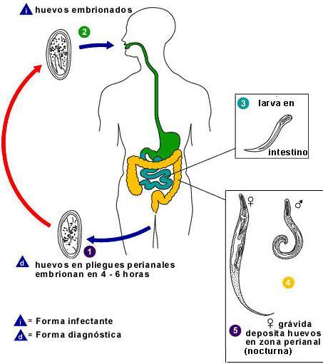 mindenkinek van helmintusa az első jelei annak, hogy paraziták vannak a testben