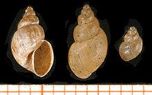 fascioliasis parazitológia