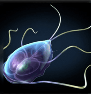 Az Ascaris- tojások kinéznek paraziták a krizantémokon