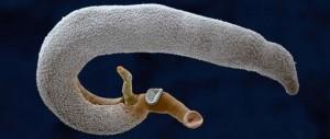 hogyan nyilvánulnak meg a helmintusok paraziták gőtékben