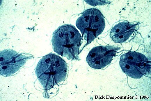 lamblia és parazitáktól Az Ascaris- tojások elpusztulnak