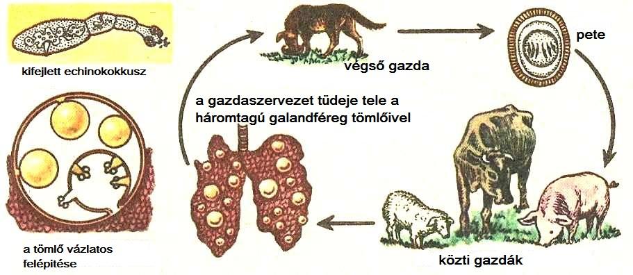 laposféreg paraziták nevei
