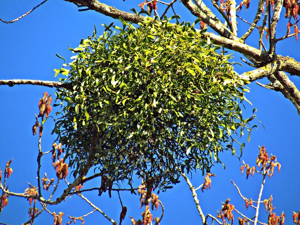 Paraziták labdák a fák, Élősködő növények a fákon Parazita fűz áttekintése