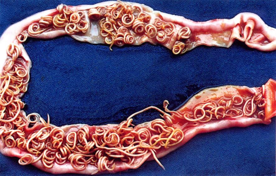testüreg szarvasmarha galandféreg