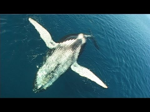 paraziták bálnák