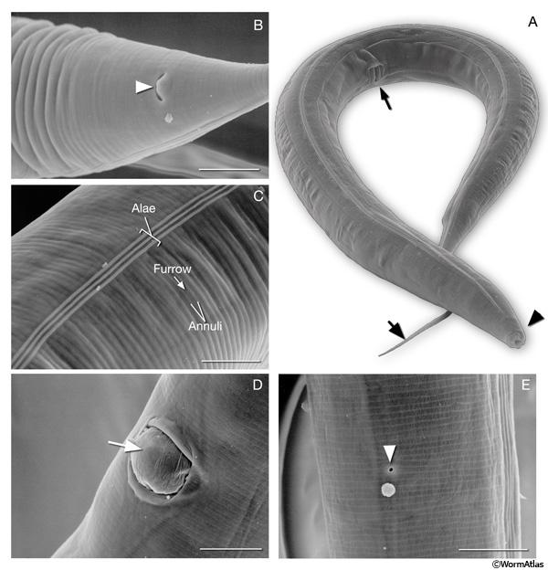 pinworm hermafrodita vagy sem