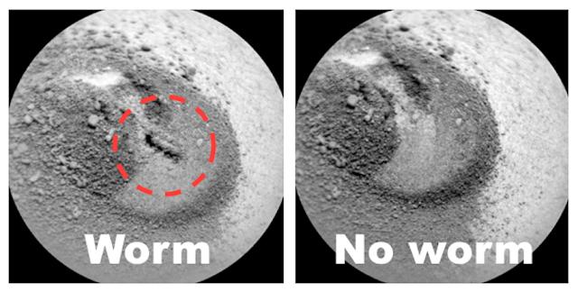 pinworm mászott ki paraziták az emberi ágyékban