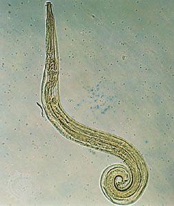 hogyan kell használni a készletet az enterobiasis számára pinworm- ellenőrzési intézkedések és megelőzés
