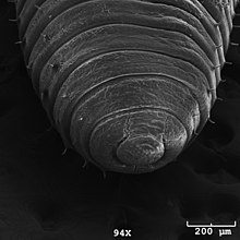 pinworms a stramonium bevételekor
