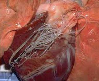 szívférgek megelőzése és kezelése diphyllobothriasis inkubációs periódus