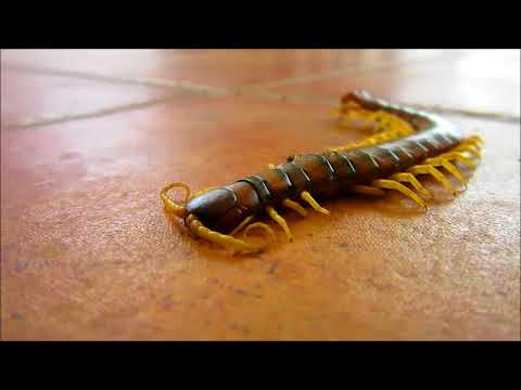 százlábú parazita paraziták tünetei jelei
