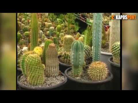 az összes kaktusz parazita)