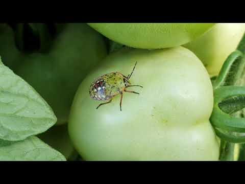 zöld paraziták)