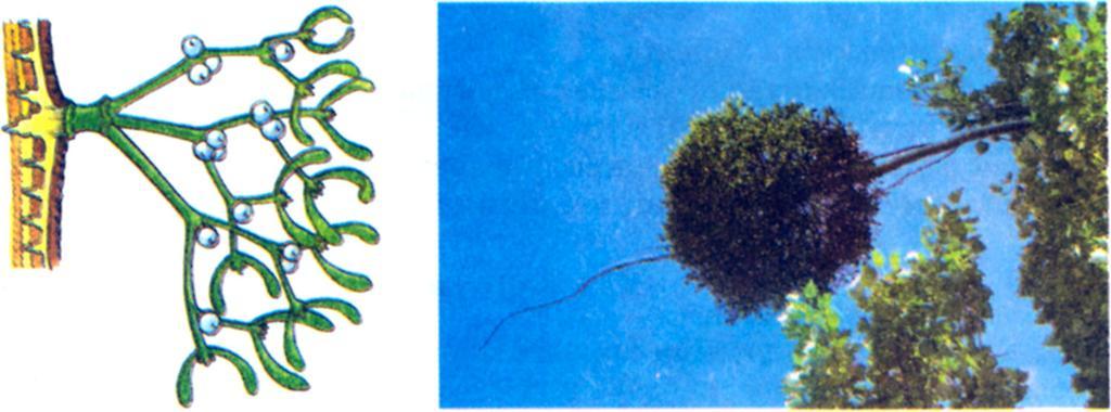 paraziták mikropreparátumai pinworms gyakori fertőzés