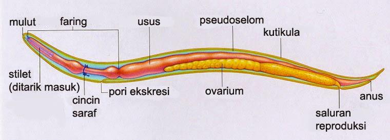 a legbiztosabb gyógymód a helminták ellen az emésztőrendszer parazitái
