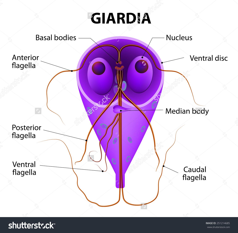 A laposférges paraziták képviselői. Platyhelminthes planaria cefalizáció, A paraziták képviselői