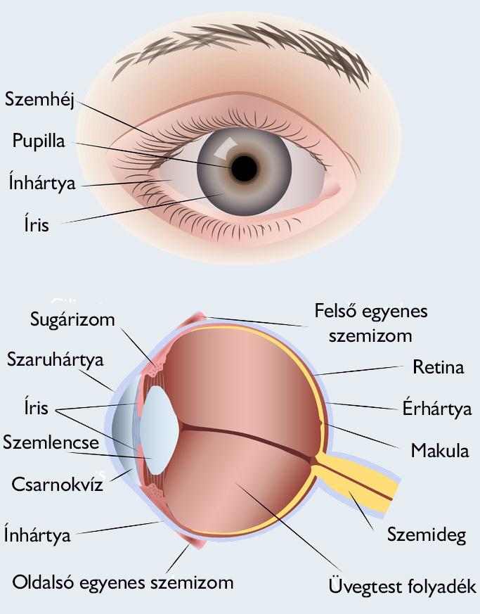 parazita szem nélkül enterobiasis panaszok